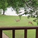 Deer at Lake Travis Getaway